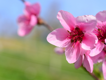 Peach blossom flowers against blue sky and green grass in spring. Macro photo. Springtime concept. Peach flower with copy space