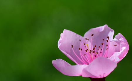 Peach blossom flower in spring. Macro photo. Springtime concept. Peach flower with green, natural copy space
