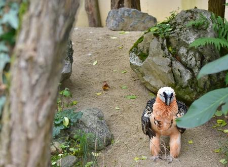 Il gipeto, è un uccello da preda e l'unico membro del genere Gypaetus. È stato classificato dalla Lista Rossa IUCN delle specie minacciate come di minor rischio. Zoo di Vienna Archivio Fotografico