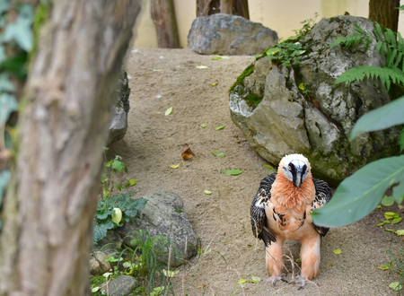 The bearded vulture,  is a bird of prey and the only member of the genus Gypaetus. It was classified by the IUCN Red List of Threatened Species as being of Least Concern. Viena zoo