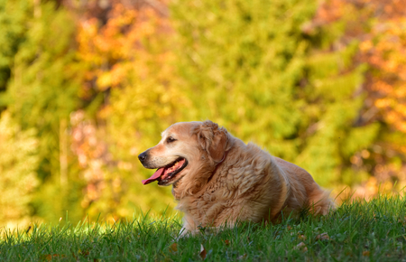 Portrait of 11 years old Golden Retriever in nature in autumn. He lies on the green grass with beautifut blurred and sunny autumn forest for the background.