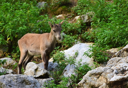 Small and young Alpine ibex, Capra ibex, also known as the steinbock, bouquetin, or simply ibex, standing on the rock Stock Photo