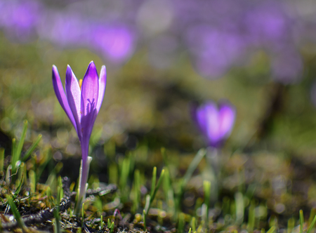 Beautiful purple spring flowers on the hills Velika planina in Slovenia. Purple crocus from close. With purple bokeh for the background.