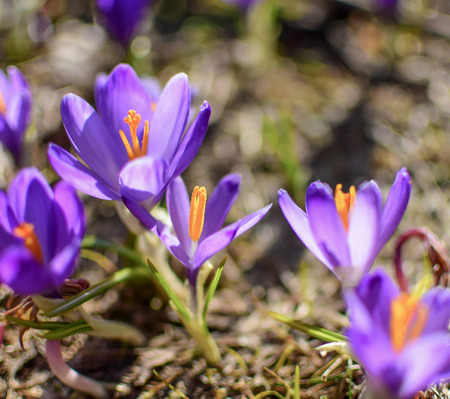 Beautiful purple spring flowers on the hills Velika planina in Slovenia, Kamnik Alps. Purple crocus, Crocus sativus, from close. Reklamní fotografie