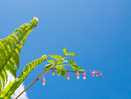 Springstime concept. Pink blossoms (Lamprocapnos spectabilis, bleeding heart or Asian bleeding-heart) and young green leaf of fern against clear and blue sky.  Fresh and clear environment.