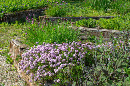 Herbal garden in spring time with flowering thyme, garden sage, chives,... Fresh herbs in the spring. Horizontal, outdoor photo with day light. 版權商用圖片