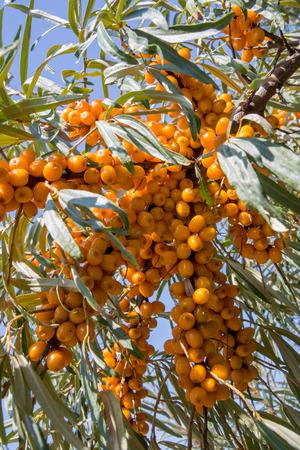 argousier: Argousier fruits sur la branche Arbuste Banque d'images