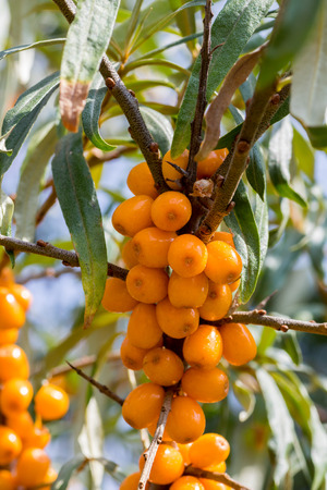 seabuckthorn: Sea-buckthorn Fruit on Shrub Branch