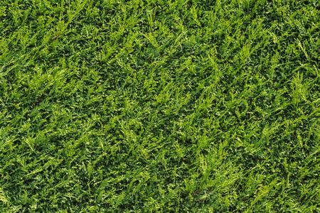 Green Hedge cypress
