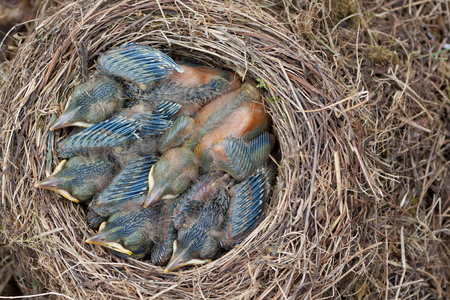 insufficient: Lack of space in house - nest crowded with young, sleeping blackbirds taken from overhead.