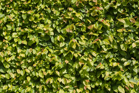 hornbeam: Hedge hornbeam - natural green, yellow, and red leaves wall - texture background Stock Photo
