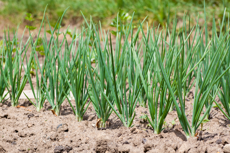 organically: Organically grown young onions growing on a bed - garden spring Stock Photo