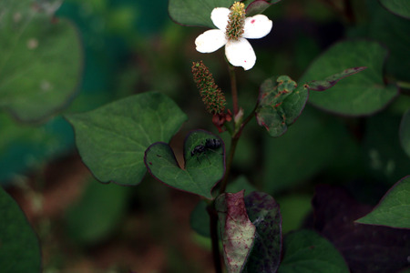 seconds: Flowers, three hundred seconds, Houttuynia cordata,