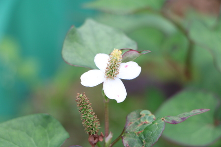 Flowers, three hundred seconds, Houttuynia cordata Stock Photo