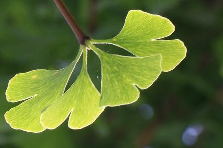 gingko: gingko leaves