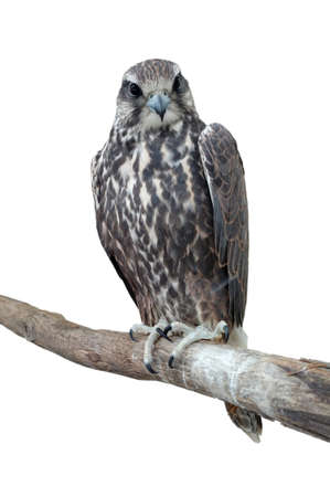 Tailed Hawk perched on a tree. Isolated on a white background