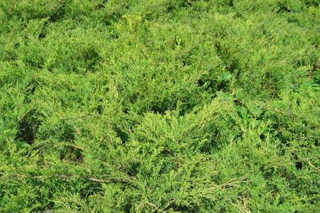 Green Hedge of Thuja Trees (cypress, juniper). Bush .. Thuja green natural background. Hedge of thuja trees, close up. Texture. Green Hedge of Thuja Trees. Leaves of pine tree. Imagens