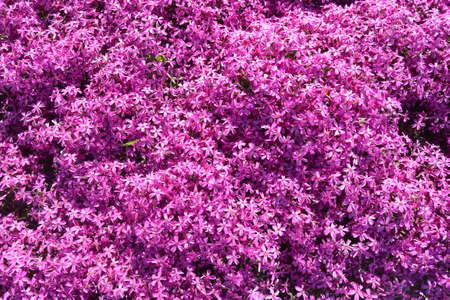 Phlox, purple spring flowers texture background. Imagens