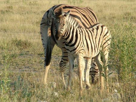 Zebra in Etosha National Park in Namibia Africa photo