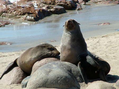 Fur Seals in Cape Cross photo