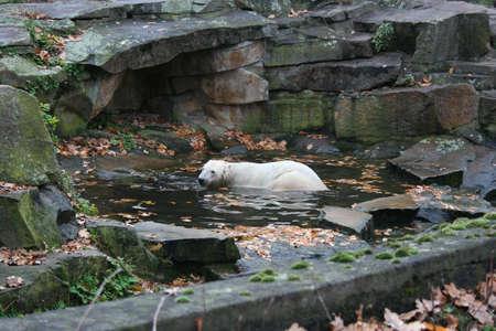 Knut the Polarbear in Berlin Zoo photo