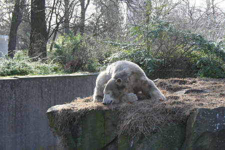 wet bear: Knut the polarbear in Berlin Zoo