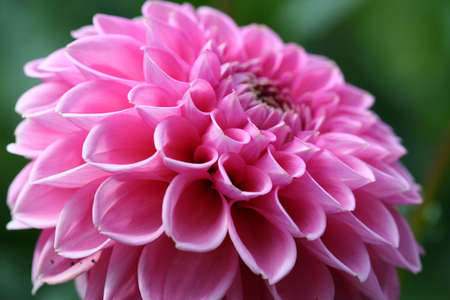 Dahlia in pink color Stock Photo