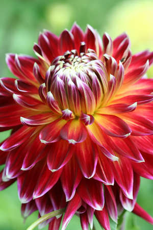 Dahlia in red