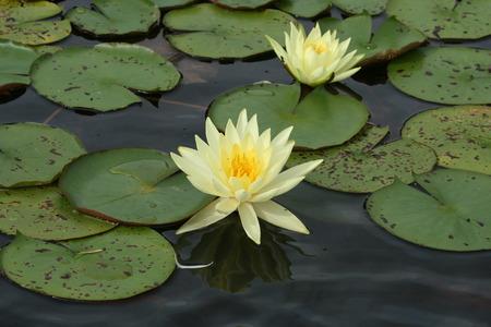 Yellow Lotus flowers Zdjęcie Seryjne