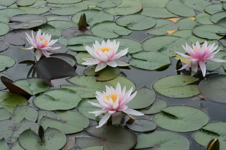 Pink Lotus flowers
