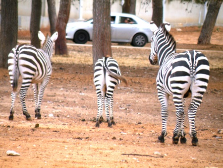 Zebra and many people are looking for eternal questions and his body striped photo