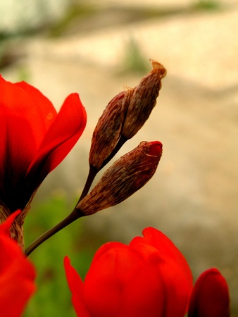 Tulip red fragrant slender to slender legs beautiful open space Stock Photo - 9742196