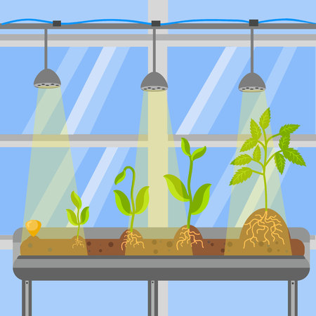 Plants in Greenhouse Flat Vector Illustration. Sprout Growing Process and Phases. Seed in Soil. Roots in Ground. Cultivation Technology. Saplings on Table under Lamp Indoors. Hothouse Windows Иллюстрация