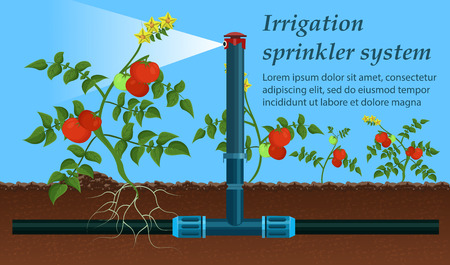 Vector is Written Irrigation Sprinkler System. Tool Used Agriculture for Spraying Water or other Liquid Soil. Tomatoes Grow Field, not Enough Moisture. Modern Spraying System is Installed. 일러스트