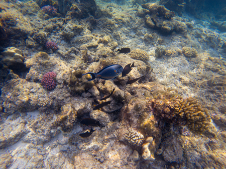 Black surgeonfish and Arabian sohal surgeon fish in the natural environment swimming by coral reef Stock Photo