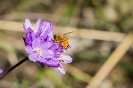 Honey bee pollinating a Blue dick wildflower (Dichelostemma capitatum), California