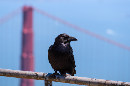 Close up of large raven perched on a metal fence, one of the Golden Gate Bridge's pylons visible in the background, California Imagens