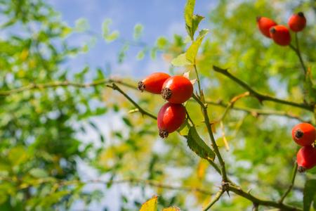 Rose Hip (Rosa Canina) branch