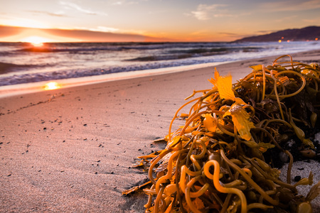 Seaweed washed out on a sandy beach, bathed in the sunset light; Malibu beach, the Pacific Ocean coastline, Los Angeles county, California