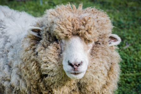 Close up of woolly sheep looking at the camera on a sunny winter day, Ardenwood Historical Farm, Fremont, California Stock fotó