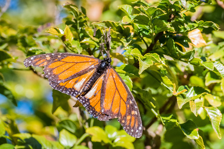 Monarch Butterfly with badly damaged wings resting in cape honeysuckle plant, Fremont, San Francisco bay, California