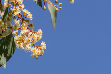 Young Soap mallee (Eucalyptus diversifolia) flowers on a blue sky background, California Stock Photo