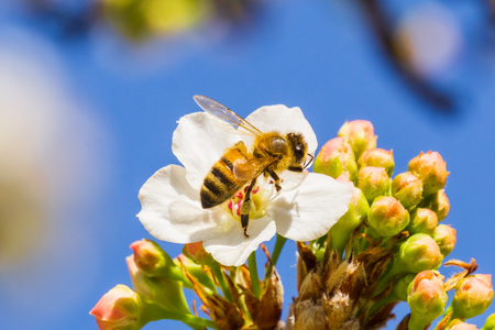 Close up of bee on a blooming fruit tree, California