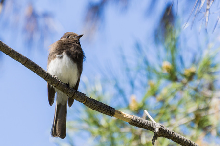 Black Phoebe sitting on a branch on a sky background, California