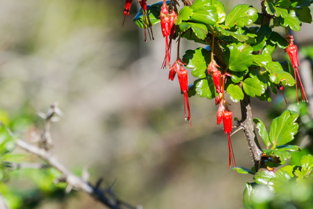 Flowers of Fuchsia-flowered Gooseberry (Ribes speciosum) in a garden, California