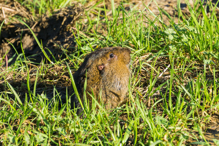 A Botta's Pocket Gopher going partially out of its burrow, San Francisco bay area, California
