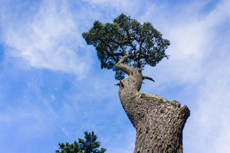 Twisted cypress tree in San Francisco, California