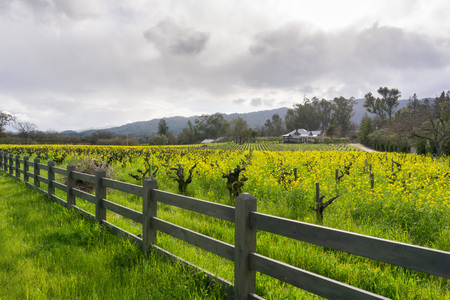 Wild mustard in bloom at a vineyard in the spring, Sonoma Valley, California 版權商用圖片 - 115171930
