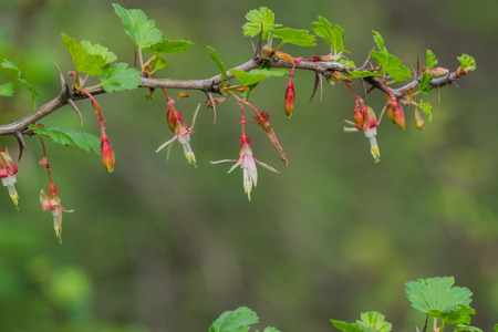 Hillside Gooseberry (Ribes californicum), California 版權商用圖片