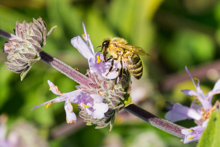 Honey bee gathering nectar from Cleveland sage (Salvia clevelandii) flowers in spring, California 免版税图像